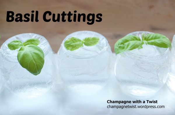 Basil cuttings - day 1